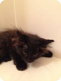 Domestic Longhair Kitten for adoption in Fountain Hills, Arizona - MAC