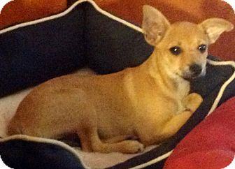 Chihuahua/Pomeranian Mix Puppy for adoption in Brooksville, Florida - 'ROSEMARY'