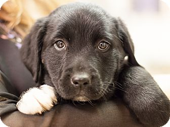 Labrador Retriever/Border Collie Mix Puppy for adoption in Dallas, Texas - Mikaela