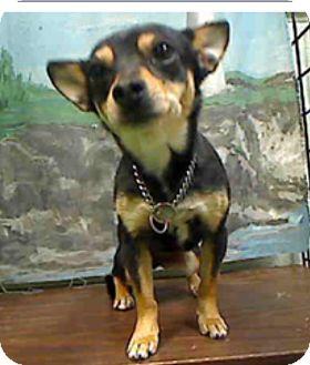 Dachshund/Terrier (Unknown Type, Small) Mix Dog for adoption in Creston, California - Suki