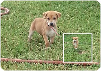 Border Collie Mix Puppy for adoption in San Antonio, Texas - Puppy