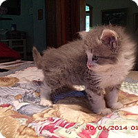 Adopt A Pet :: ELKA - Acme, PA