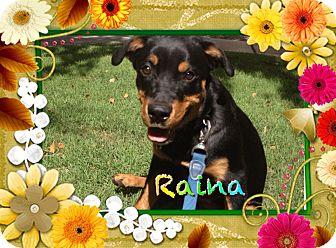 Rottweiler Puppy for adoption in Gilbert, Arizona - Raina
