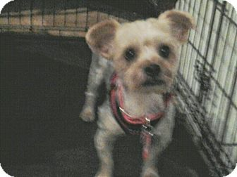 Yorkie, Yorkshire Terrier Dog for adoption in staten Island, New York - Gus