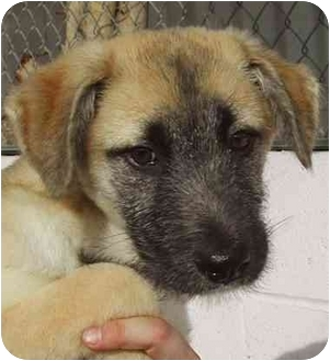 Airedale Terrier/Afghan Hound Mix Puppy for adoption in El Segundo, California - Davey