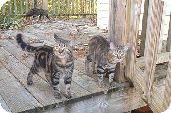 American Shorthair Kitten for adoption in Florence, Alabama - Sue kitten 1 of 2