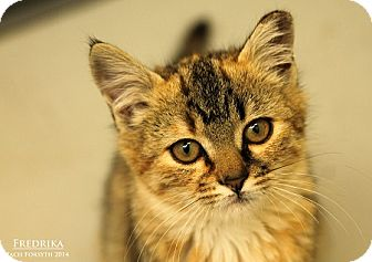 Domestic Shorthair Kitten for adoption in Portland, Oregon - Fredrika