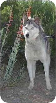 Siberian Husky Dog for adoption in Southern California, California - Tyler