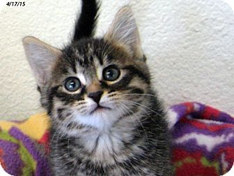 Domestic Shorthair Kitten for adoption in Republic, Washington - Insect