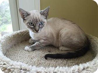 Siamese Cat for adoption in New York, New York - Jupiter
