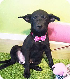 Labrador Retriever Mix Puppy for adoption in Castro Valley, California - Pattie