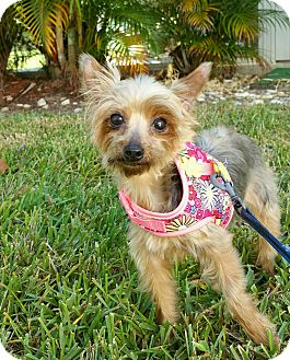 Yorkie, Yorkshire Terrier Dog for adoption in Naples, Florida - Matilda