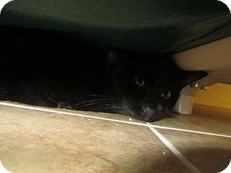 Domestic Shorthair Cat for adoption in Grand Junction, Colorado - Raisen