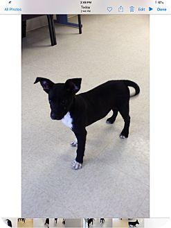 Labrador Retriever Mix Puppy for adoption in Lebanon, Missouri - Rico