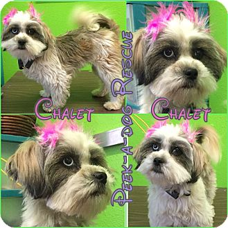 Maltese/Terrier (Unknown Type, Small) Mix Dog for adoption in South Gate, California - Chalet