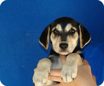 German Shepherd Dog/Labrador Retriever Mix Puppy for adoption in Oviedo, Florida - Athena