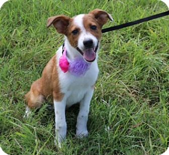 Labrador Retriever/Cattle Dog Mix Puppy for adoption in San Antonio, Texas - Monique