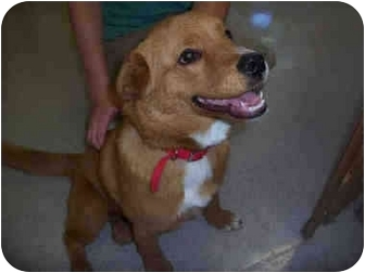 Nova Scotia Duck-Tolling Retriever Mix Puppy for adoption in San Clemente, California - ROXANNE