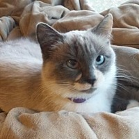Siamese Cat for adoption in Montello, Wisconsin - Bella (Courtesy Post)