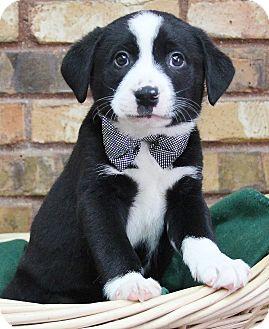 Retriever (Unknown Type) Mix Puppy for adoption in Benbrook, Texas - Calvin