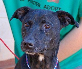 Whippet Mix Dog for adoption in Las Vegas, Nevada - Celine