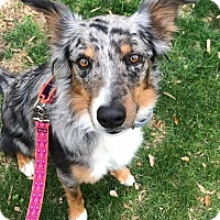 Adopt A Pet :: Sula - Allen, TX