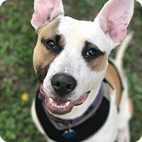 Adopt A Pet :: Jib - Staunton, VA
