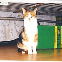 Domestic Shorthair Cat for adoption in 100 Mile House, British Columbia - Karma