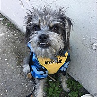 Schnauzer (Miniature)/Terrier (Unknown Type, Medium) Mix Dog for adoption in Los Angeles, California - Banjo! *Los Angeles*
