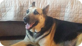 German Shepherd Dog Dog for adoption in Burlington, New Jersey - Lacie
