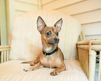 Chihuahua Mix Puppy for adoption in Charlotte, North Carolina - Riley