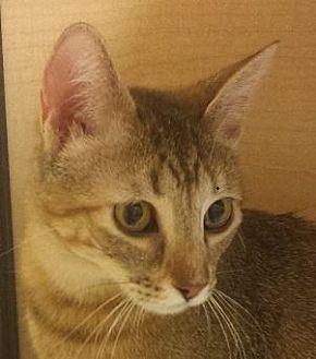 Abyssinian Cat for adoption in Mesa, Arizona - Zabrina