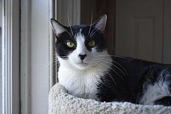 Domestic Shorthair Cat for adoption in Pine Bush, New York - Oreo