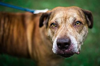 Pit Bull Terrier Mix Dog for adoption in Mt. Pleasant, Michigan - Hooch