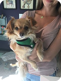 Pomeranian/Chihuahua Mix Dog for adoption in Thousand Oaks, California - Lesli