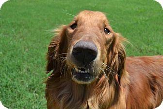 Golden Retriever Dog for adoption in Denton, Texas - Mason