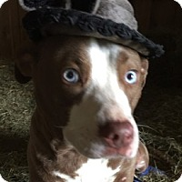 Adopt A Pet :: Frankie Blue - PLAINFIELD, IN