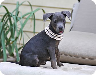 Doberman Pinscher/Weimaraner Mix Puppy for adoption in Tomball, Texas - Josie