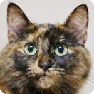 Calico Cat for adoption in Medford, Massachusetts - Naomi