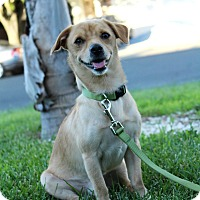 Adopt A Pet :: Dodger - Yuba City, CA