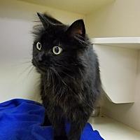 Adopt A Pet :: Midnight - Elyria, OH