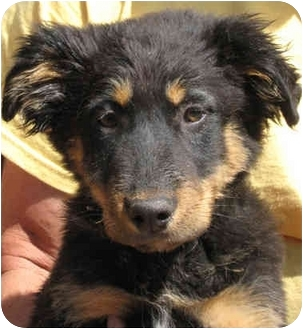 Shepherd (Unknown Type)/Australian Shepherd Mix Puppy for adoption in Poway, California - Pup-Pups