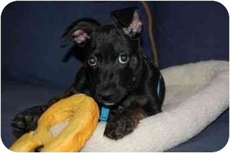 Labrador Retriever/American Staffordshire Terrier Mix Puppy for adoption in Long Beach, New York - Mikey