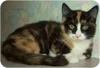 Domestic Mediumhair Kitten for adoption in North Judson, Indiana - Thumbelina