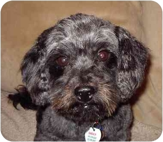 Poodle (Miniature)/Cairn Terrier Mix Dog for adoption in Los Angeles, California - Barack