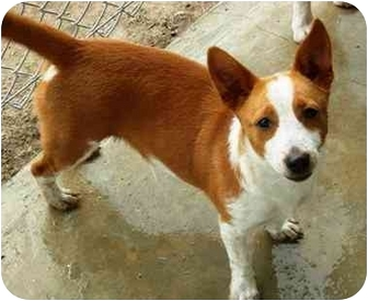 Corgi/Terrier (Unknown Type, Medium) Mix Puppy for adoption in Port Lavaca, Texas - Spike