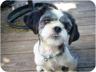 Shih Tzu Mix Puppy for adoption in Marion, Indiana - PREGNANT PUPPY MILL