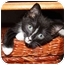 Photo 1 - Domestic Shorthair Kitten for adoption in Tampa, Florida - Rena