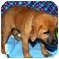 Photo 2 - Shepherd (Unknown Type)/Rhodesian Ridgeback Mix Puppy for adoption in Broomfield, Colorado - Donald Duck