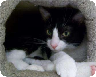Domestic Shorthair Cat for adoption in Munster, Indiana - Chevy